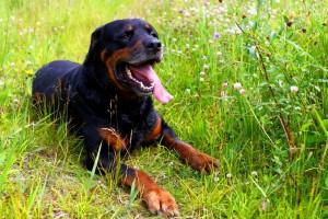 Der Rottweiler - Herkunft und Geschichte