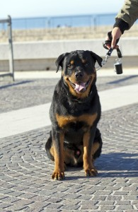 Hunderasse Rottweiler in Not