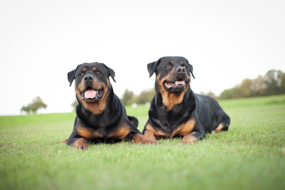 Grundimmunisierung und Auffrischungsimpfungen für den Rottweiler