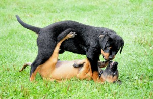 Rottweiler Welpen beim Spielen