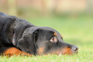 Rottweiler in Not