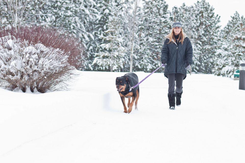 Streusalz und Kälte greifen die Pfoten des Rottweilers an