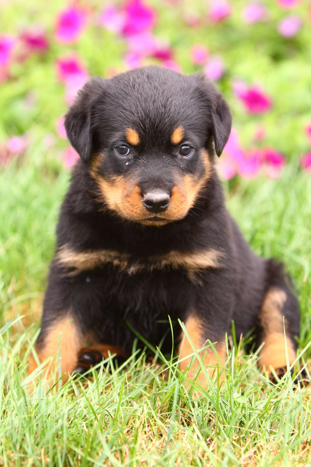 Rottweiler Puppy Dog Video