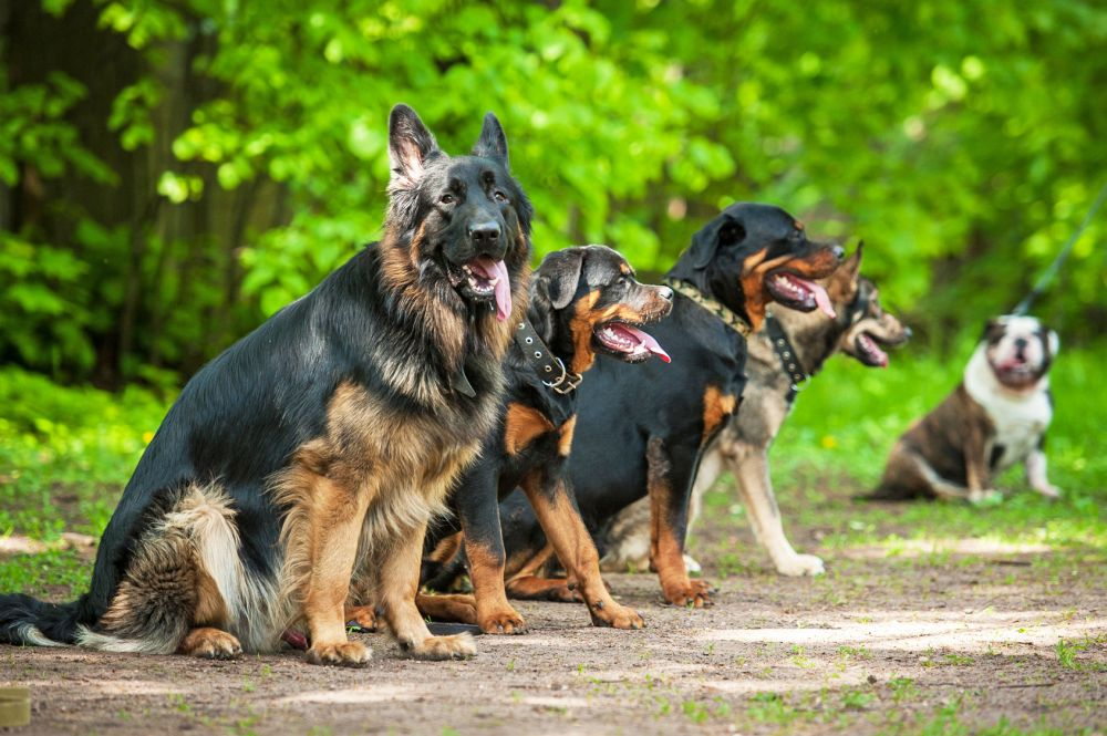 Hundeschule für Rottweiler