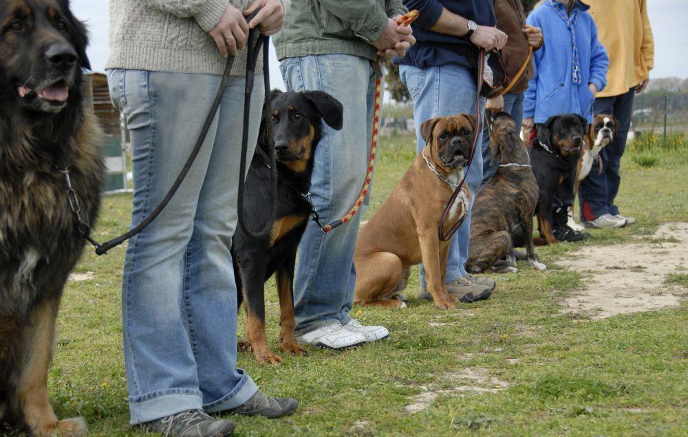 Rottweiler in der Hundeschule