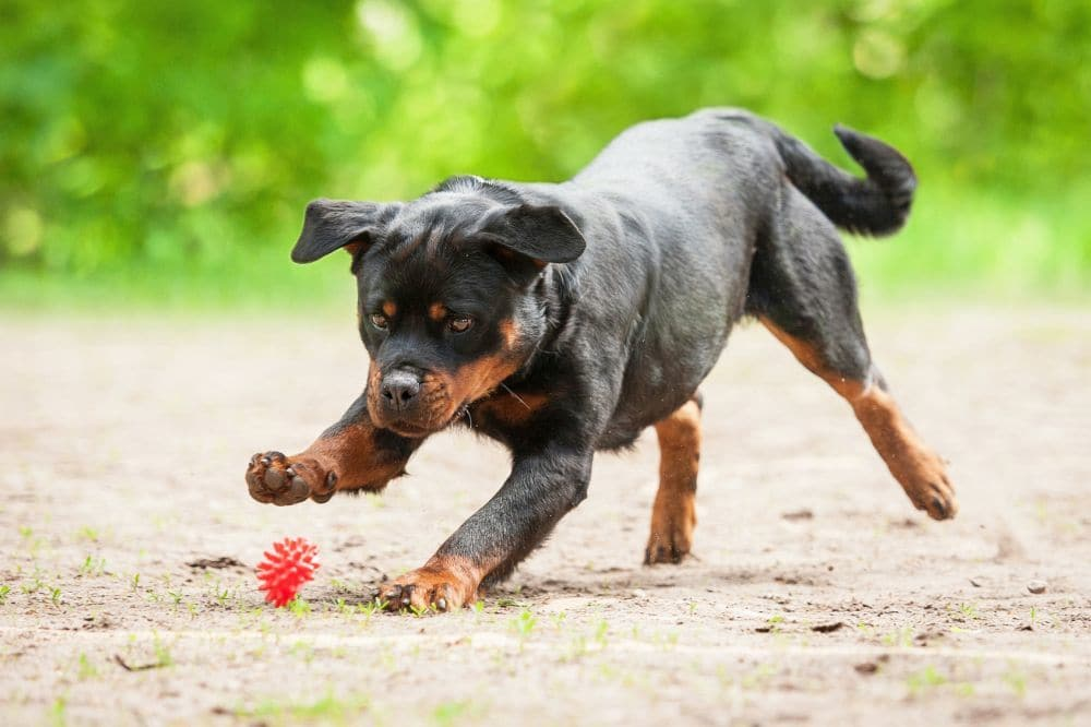 Rottweiler Welpen mit Ball beschäftigen