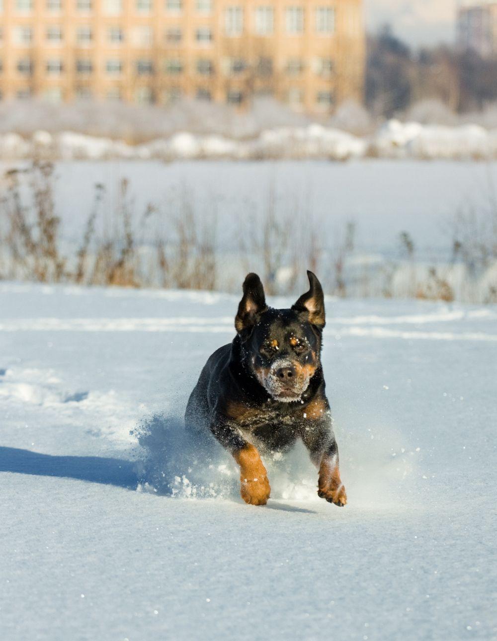 Rottweiler Beschäftigung Winter