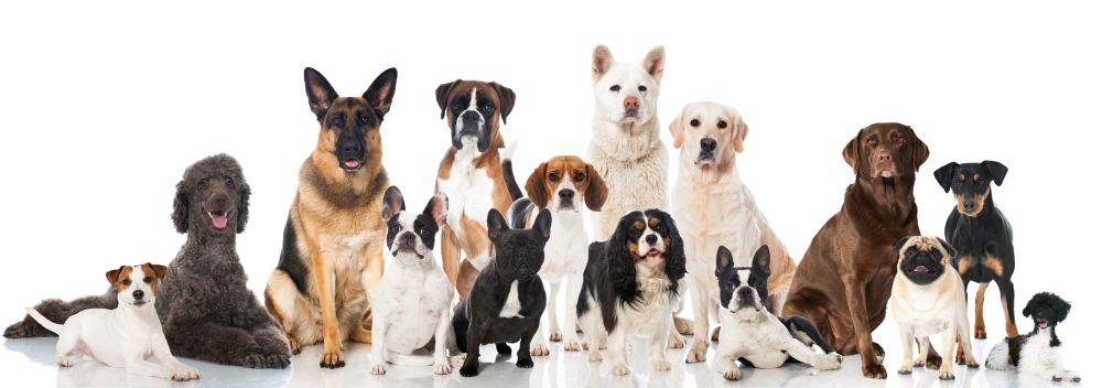 Die Lebenserwartung des Rottweiler im Vergleich mit anderen Hunderassen