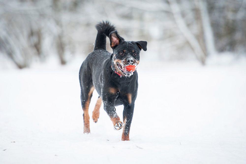 Lebenserwartung Rottweiler durch Bewegung erhöhen