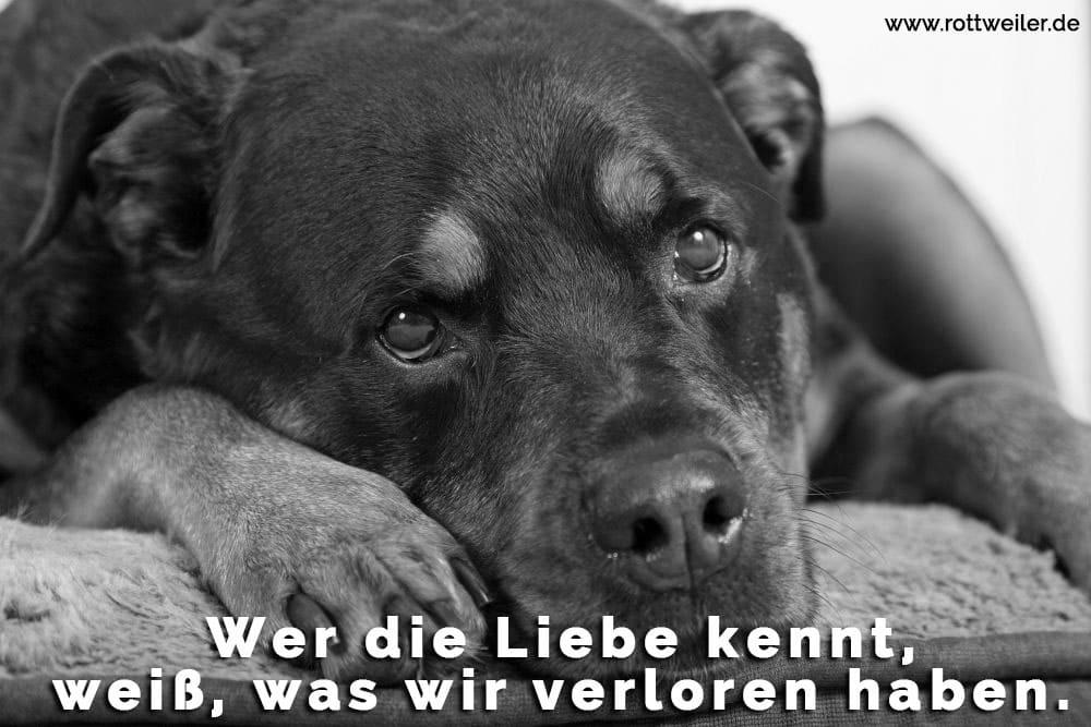 Ein trauriger Rottweiler