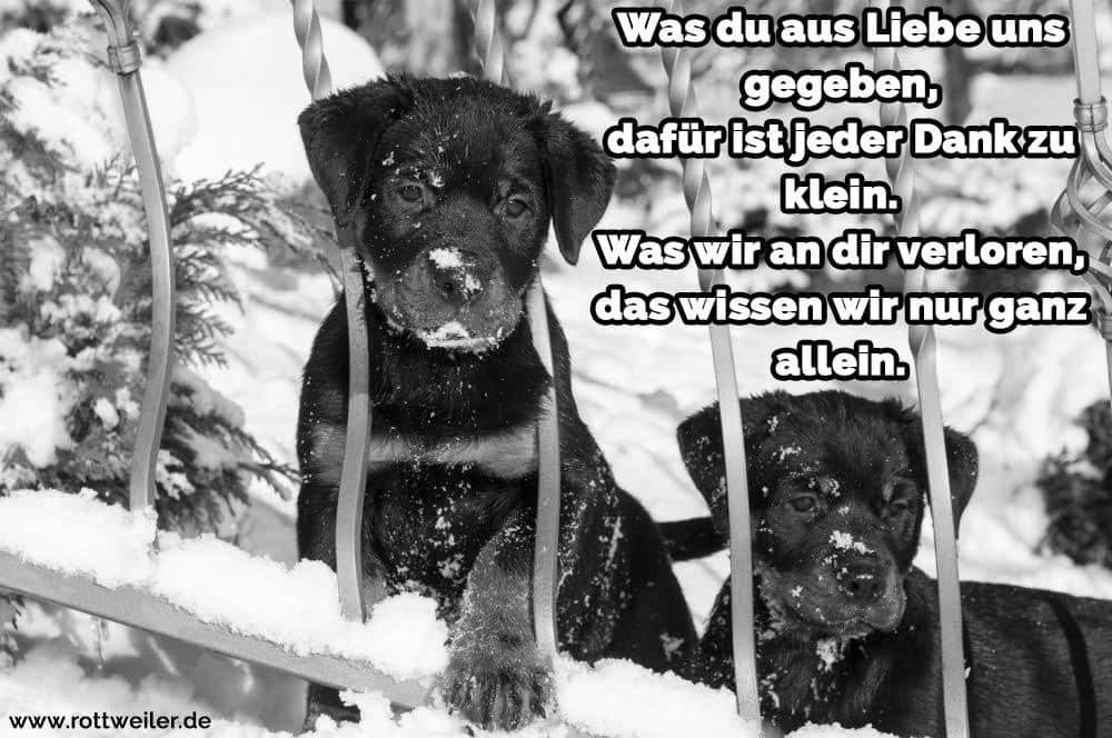 Traurig Rottweiler