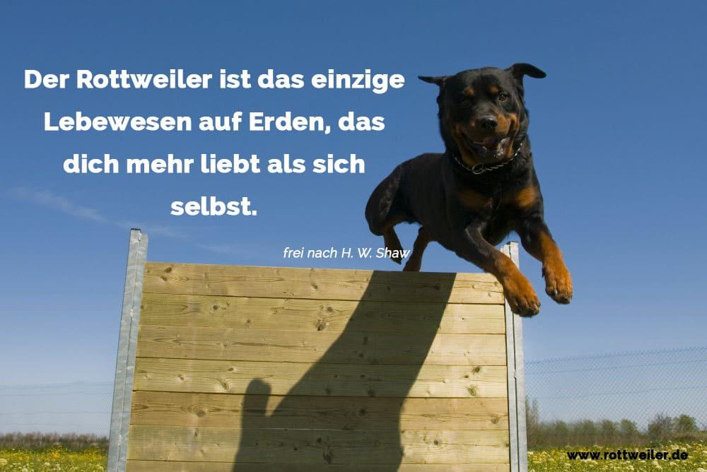 Rottweiler springt über Hinderniss. Agility