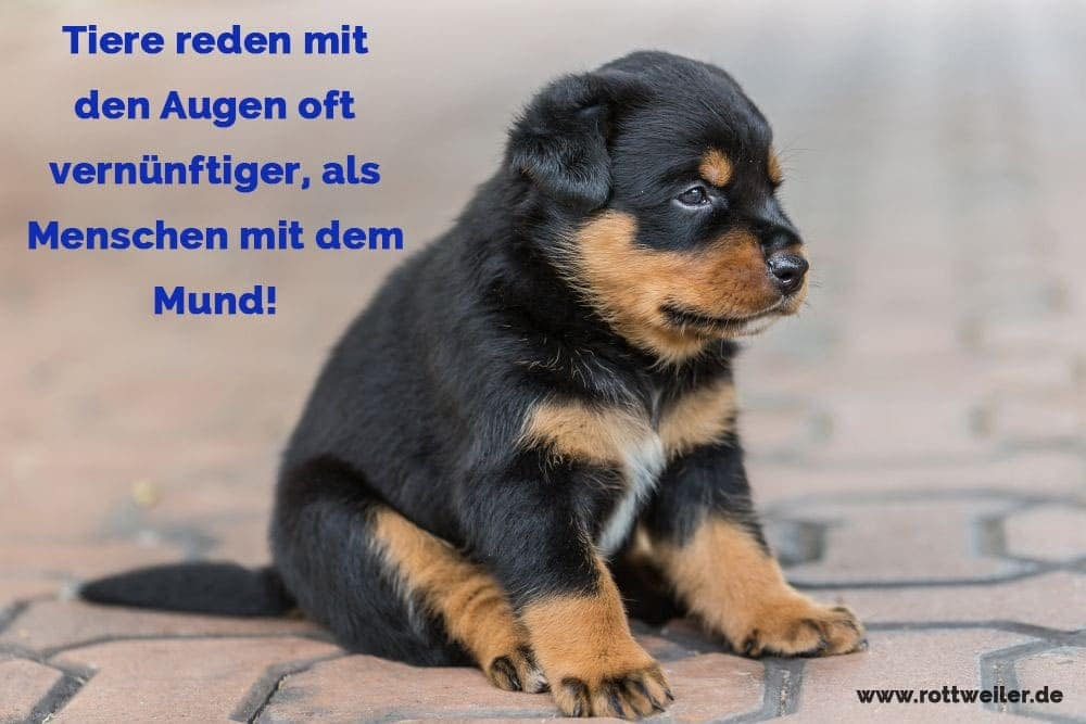 rottweiler zitate und spr che. Black Bedroom Furniture Sets. Home Design Ideas