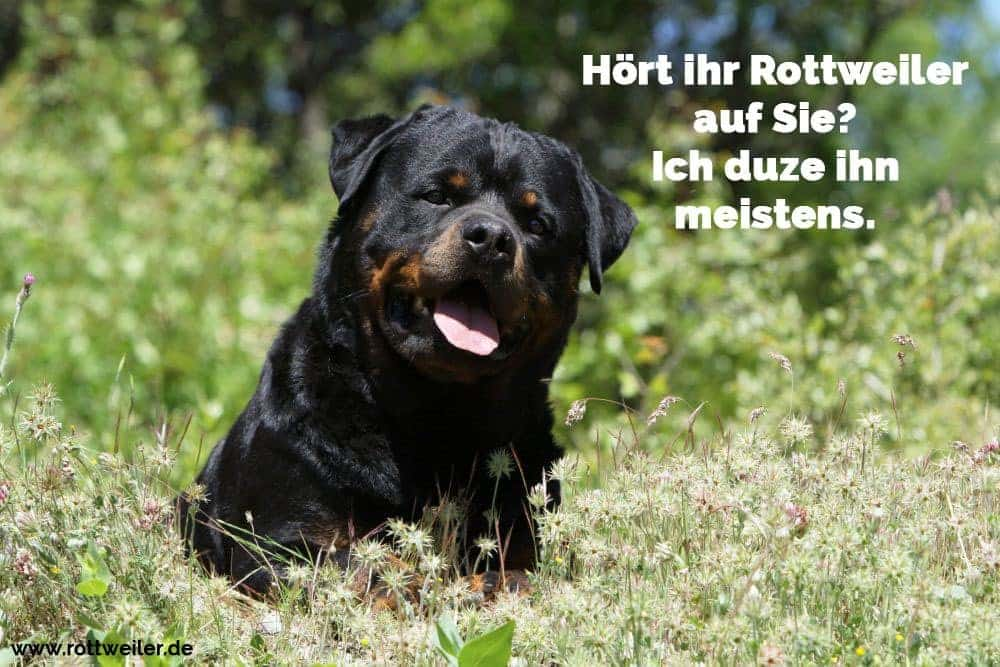 Rottweiler Hund auf Blumenwiese