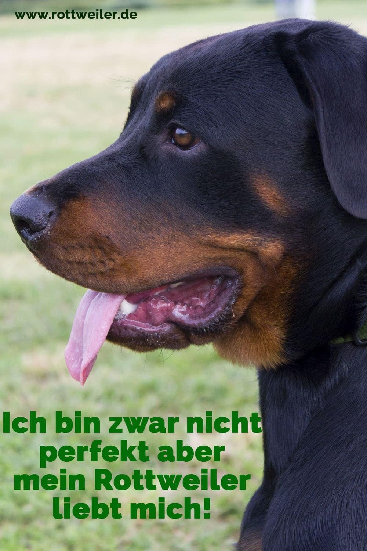 Großer Rottweiler - Close Up