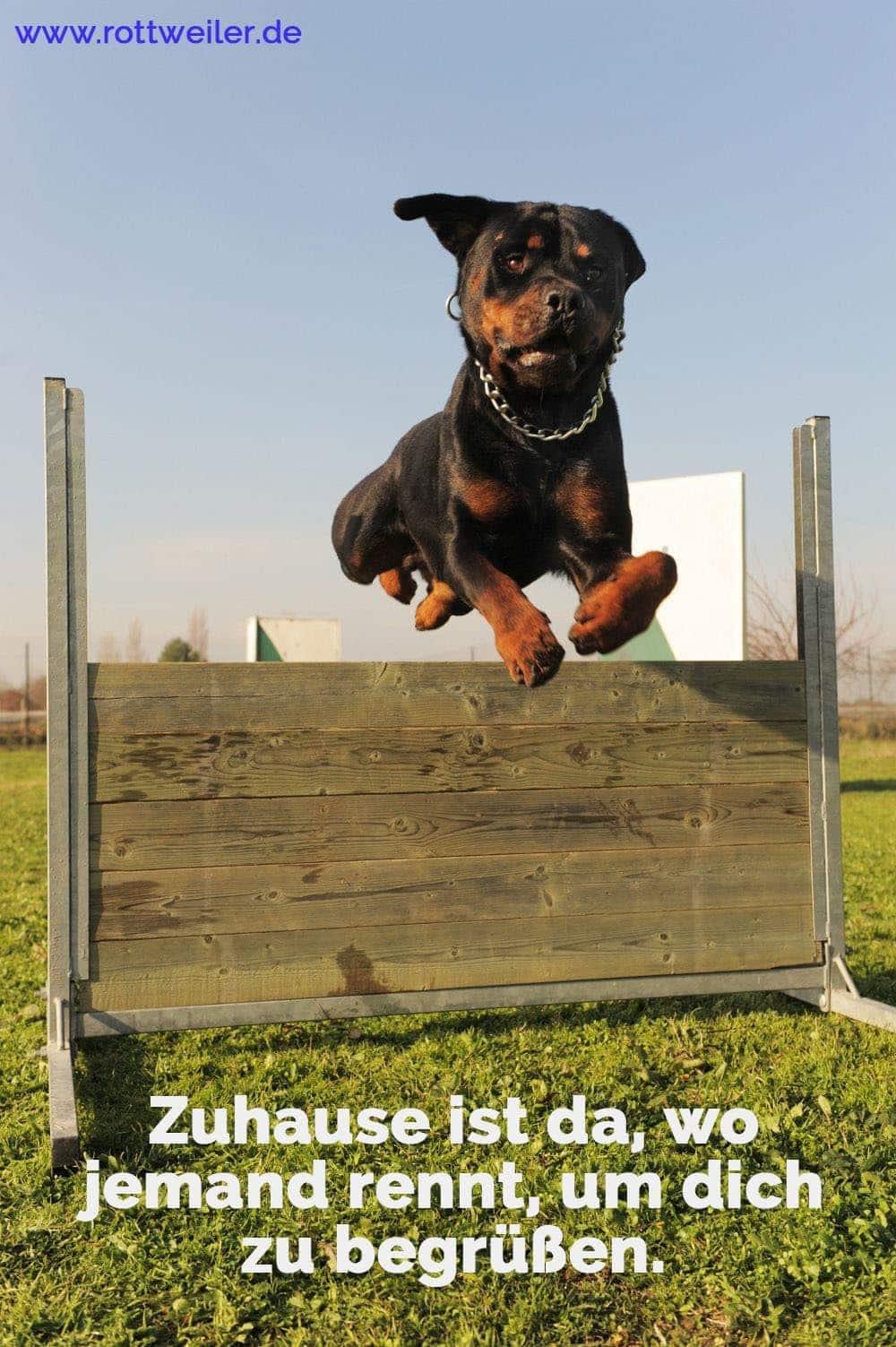 Rottweiler springt über Hinderniss