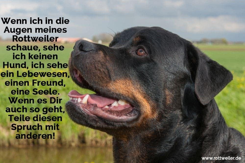 Porträt eines Rottweiler Hundes