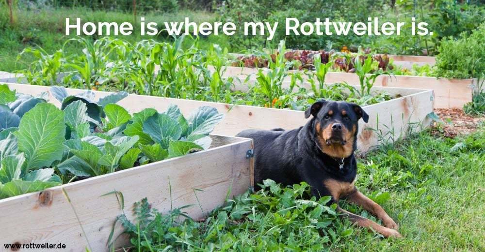 Rottweiler ligt im Gemüsegarten