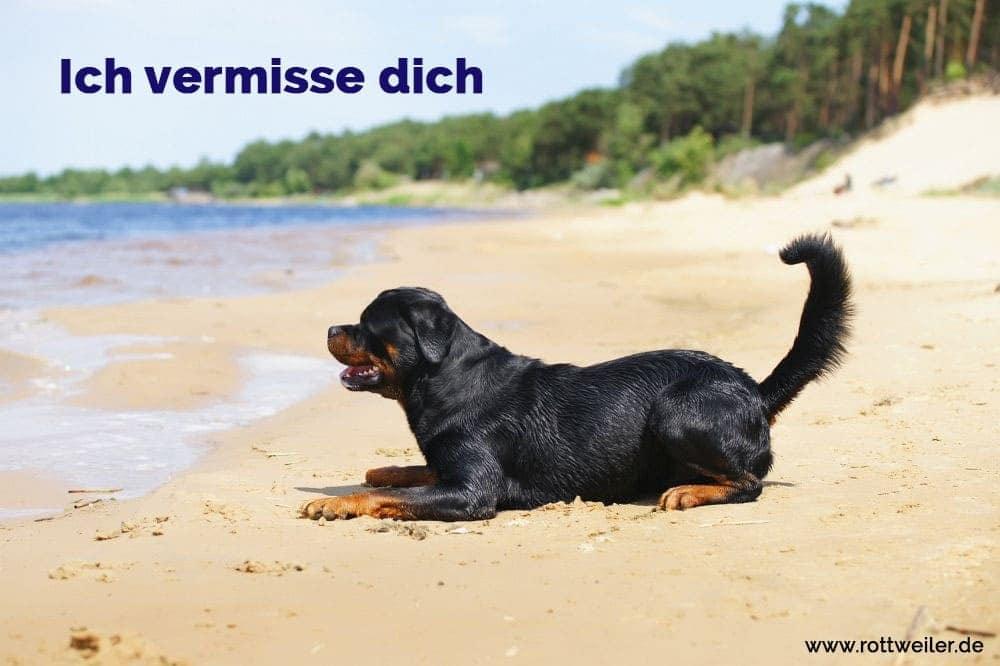 Rottweiler Hund liegt im Freien in der Nähe des Wassers im Sommer