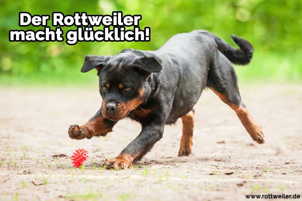 Rottweiler spielt mit dem Ball
