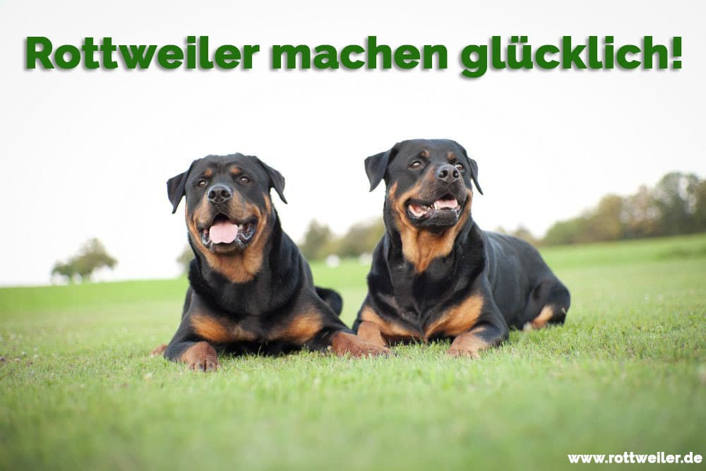 Zwei Rottweiler liegen im Gras