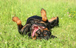 Happy Rottweiler resting on green grass