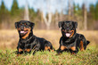 Two rottweilers lying on the lawn